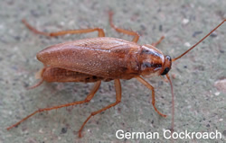 German_Cockroach_RID