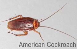 american_cockroach_RID