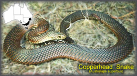 copperhead_snake