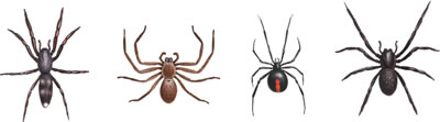 Spiders - White tail, Huntsman, Red back, Black house spider