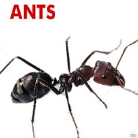 Ants Treated, Pest Control Services