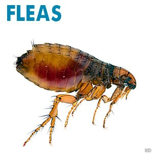 Fleas, Rental Property Flea Treatments, Ballarat