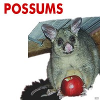 Possums in Ballarat, Removal, Pest Control