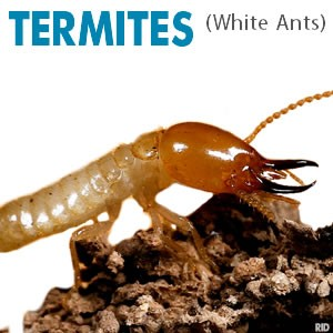 White Ants, Termites, Termite Treatment