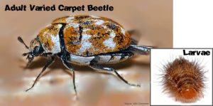 Varied Carpet Beetle & Larvae