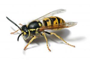 European Wasp Control
