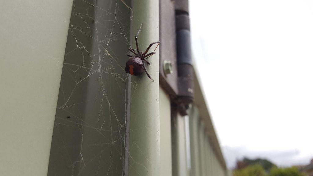 Red back spider in Ballarat in summer.