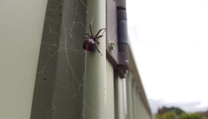 Red back spider in Ballarat in summer.