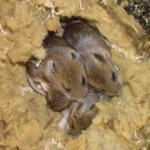 Rodents nesting in house roof. Rodent Control