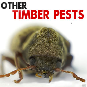 how to get rid of borer bees