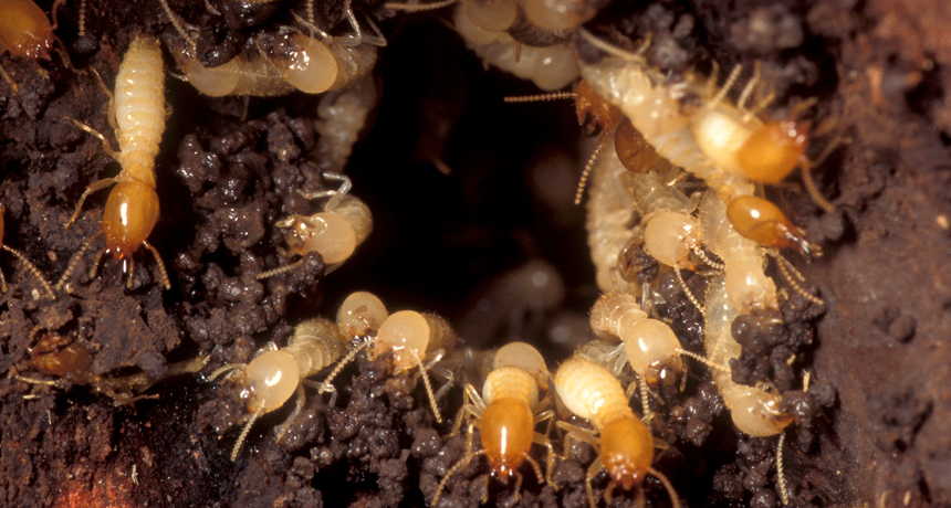 Active termite colony, workers